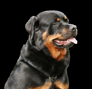 Rottweiler Main clipped rev 1